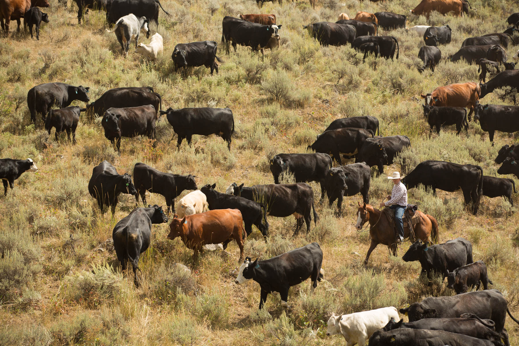 Cattle_Drive___MG_5456