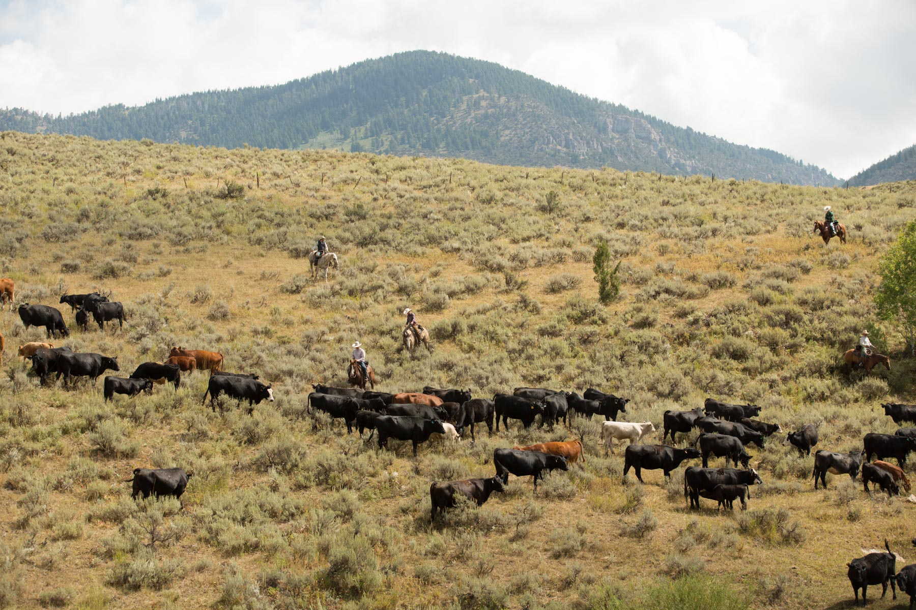 Cattle_Drive___MG_5507