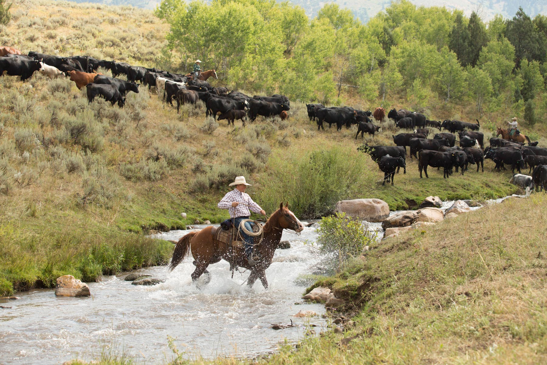 Cattle_Drive___MG_5536